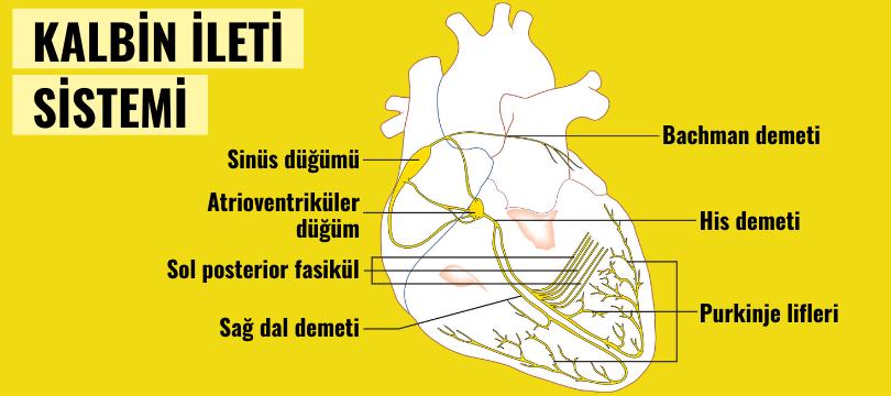 kalbin ileti sistemi