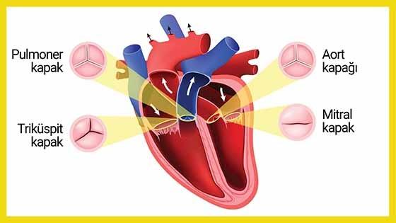 Kalp kapaklarının şematik görünümü