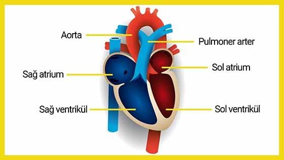 Normal kalp anatomisinin şematik görünümü